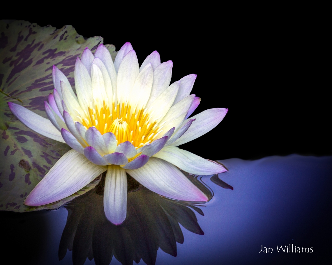 Water Lily-w