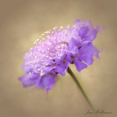 Purple Pincushion