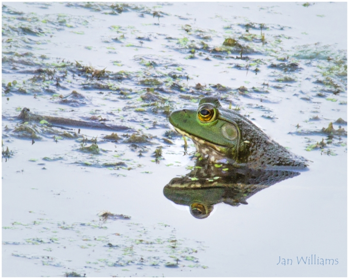 Bull Frog - Waiting for Dinner