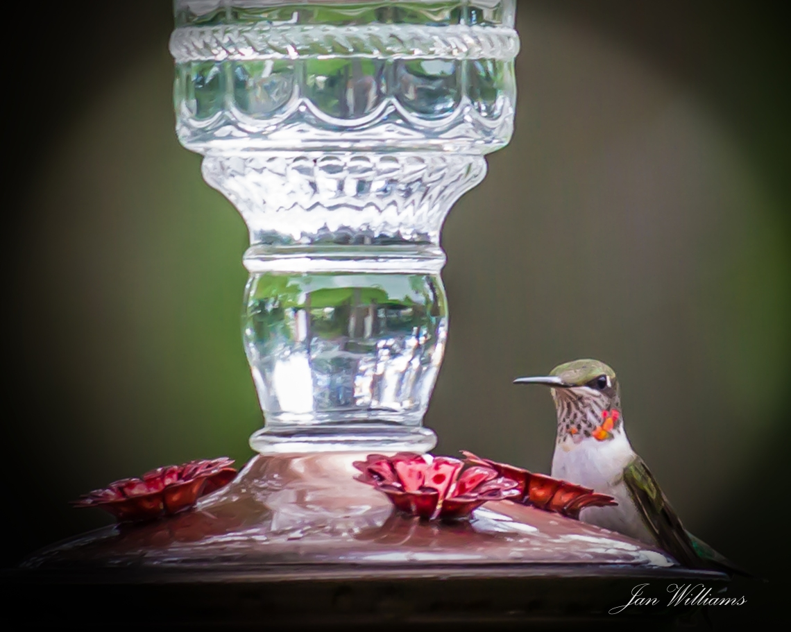 Hummingbird - at the feeder