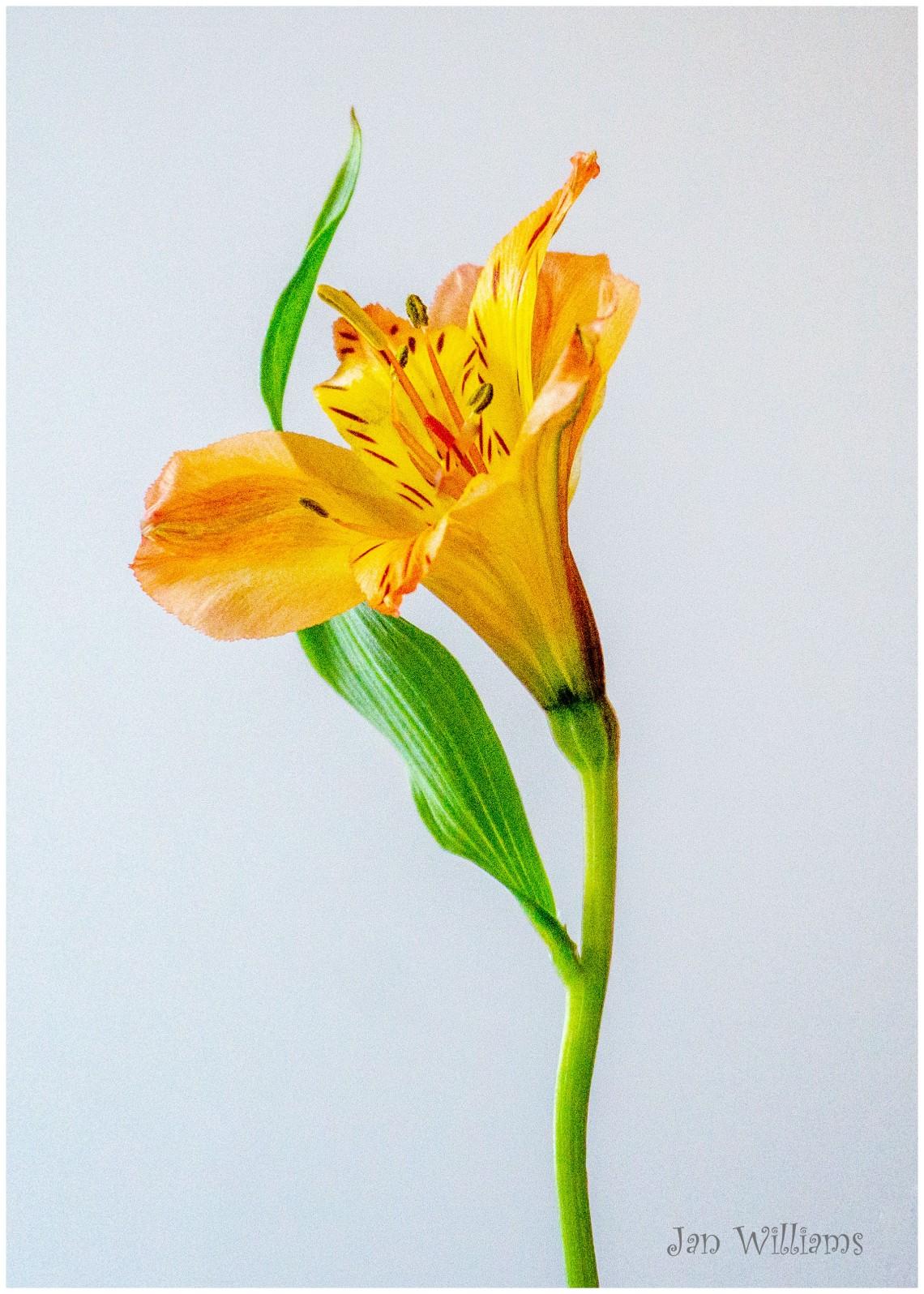 Lily-WP2