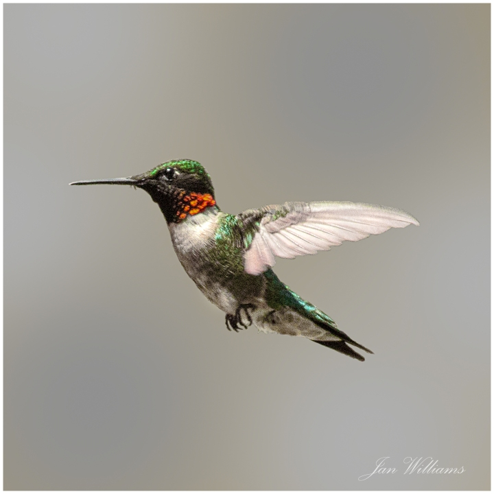 WP-Hummingbird2