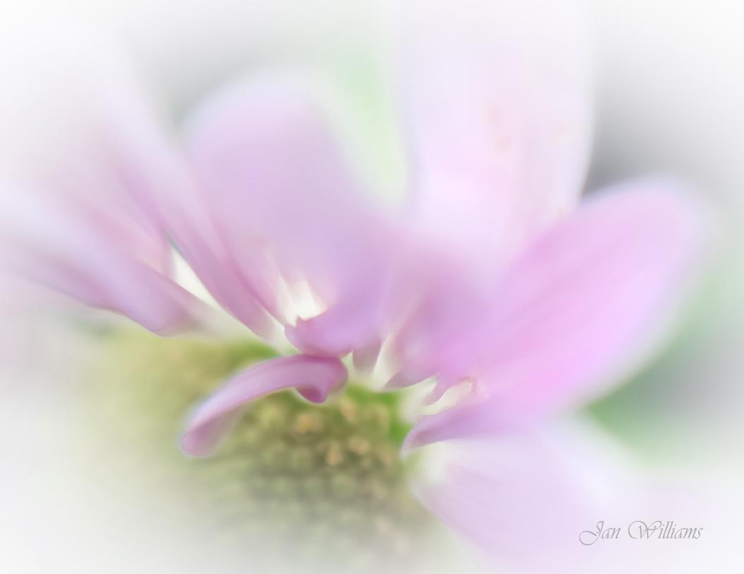 Pink Daisy - Soft Petals