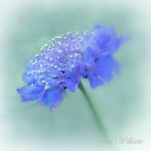 Purple-Pincushion