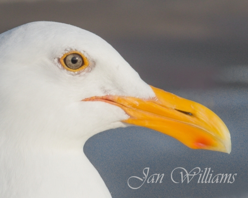 Seagull - Eye See You