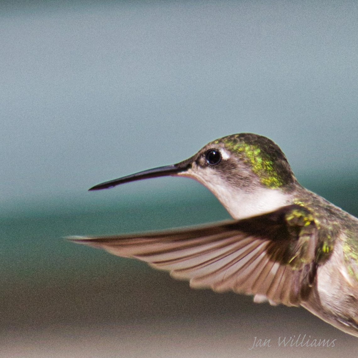 Hummingbird-In flight
