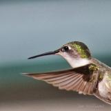 Hummingbird-In flight