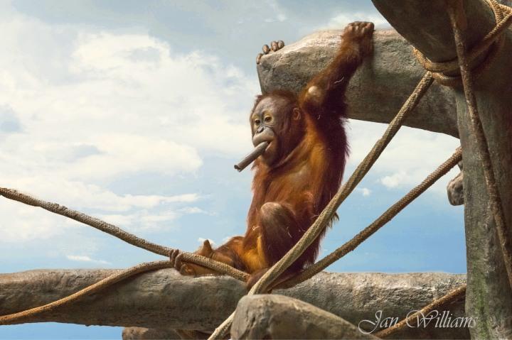 Brookfield Zoo-Urangutan.jpg
